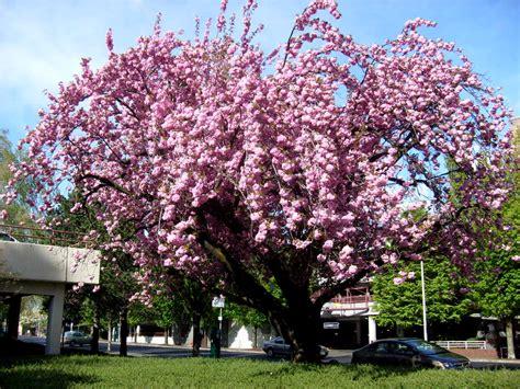 pink flowering plum tree flickr photo sharing