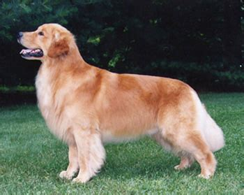 furminator for golden retriever what is akc golden retriever about animals