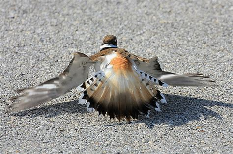 killdeer broken wing display flickr photo sharing
