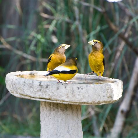 wild birds unlimited photo share evening grosbeaks