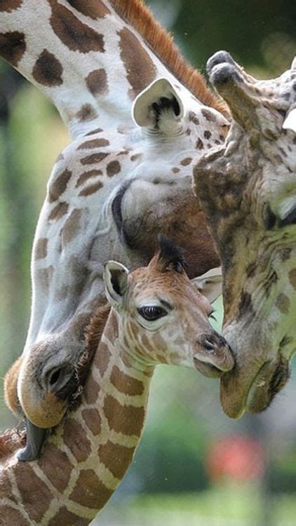 what color is a giraffe best 25 baby giraffe pictures ideas on