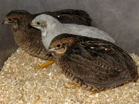 can button quail live in colonies button quail