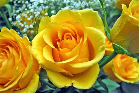 wallpaper flower rose free download rose flowers wallpapers free download