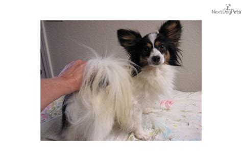 papillon puppy price papillon puppy for sale near oklahoma city oklahoma b164649c 6011