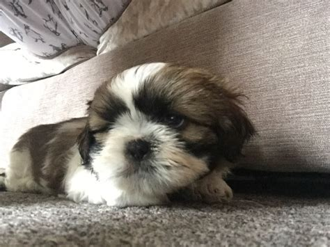 shih tzu breeders bc 2 shih tzu puppies for sale cleethorpes lincolnshire pets4homes