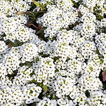 alyssum white twelve pack  good polhill garden