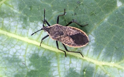 identify garden pests tips to identify and squash bugs in your garden