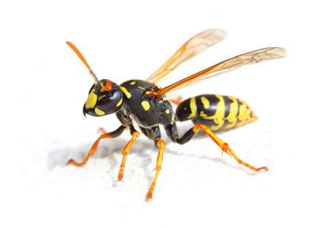 bees wasps and ants and other stinging insects classic reprint books 10 faqs about wasps debugged