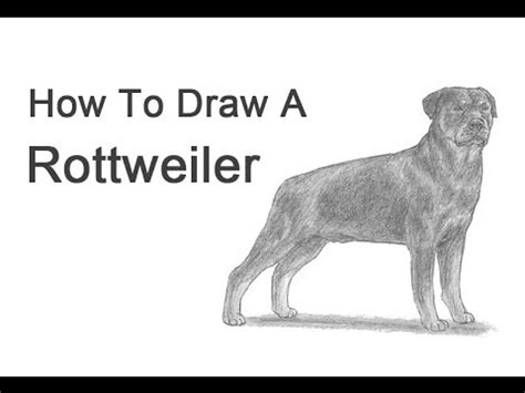 how to a rottweiler how to draw a rottweiler pawbuzz