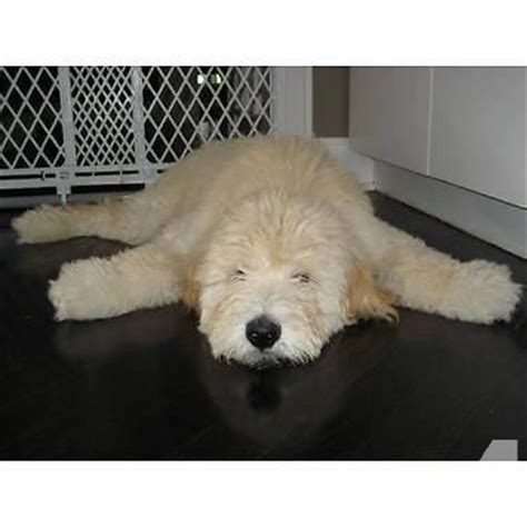 teddy puppies for sale in missouri smaller size teddy goldendoodle puppies for sale in louis missouri