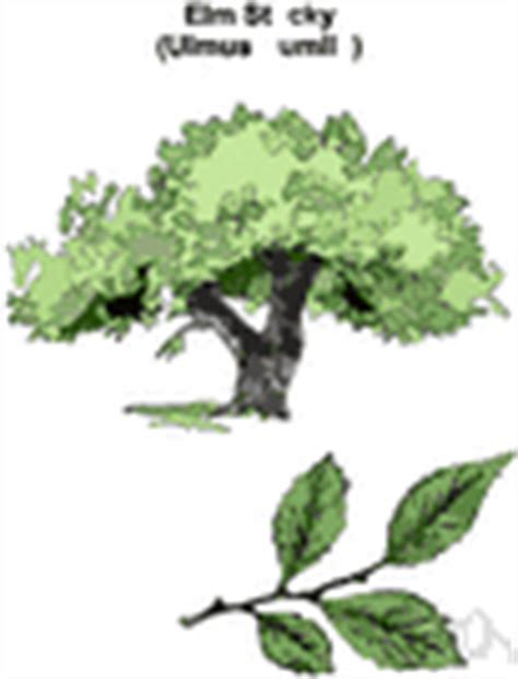 elm tree meaning american elms definition of american elms by the free