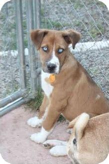 boxer husky mix puppies hootch adopted puppy 528 homer ny husky boxer mix