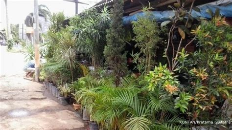 Lu Hias Jawa berburu tanaman hias di kawasan cinere 1