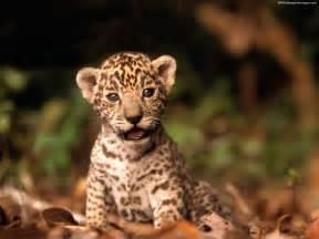 Jaguars Con Jaguar Wallpaper 1600x1200 40679