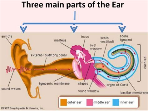 what are the three main sections of the brain human ear and physiology of hearing