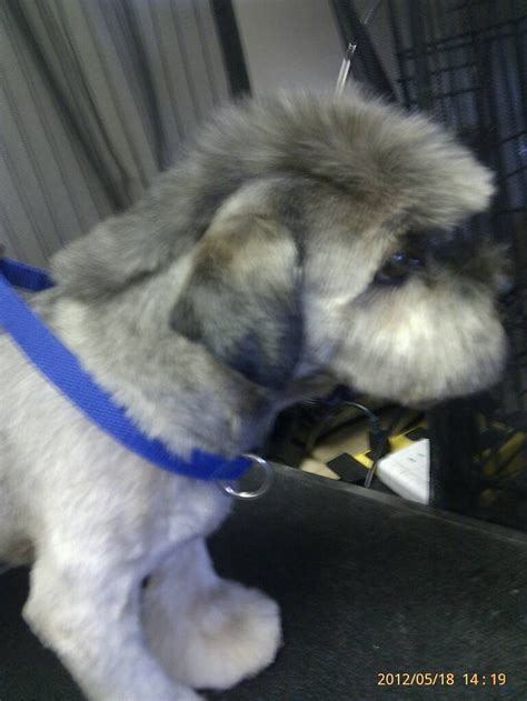shih tzu mohawk 17 best images about grooming on poodles pomeranian haircut and yorkie