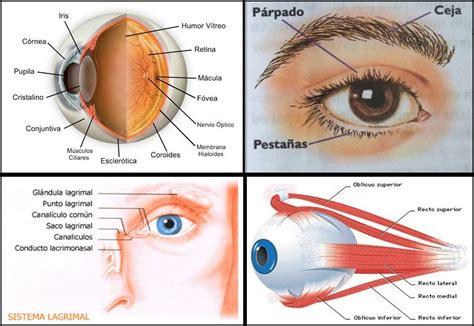 imagenes de los ojos y sus partes el ojo como fotorreceptor biopsicosalud