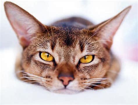 can a get parvo parvovirus cats cats