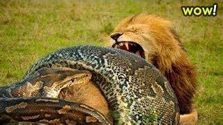film ular vs singa le 243 n de ataque de la serpiente el 193 guila come serpiente