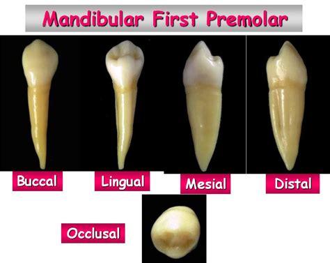 Maxillary Premolar Human Premolar