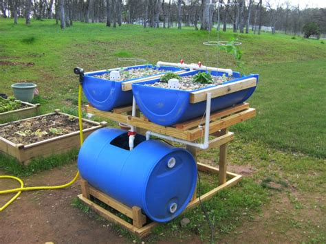 backyard tilapia aquaponics barrel aquaponics grow organic food easily with backyard