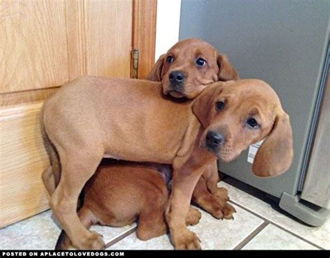 redbone puppies redbone coonhound puppies grace and copper a place to dogs sweet babies