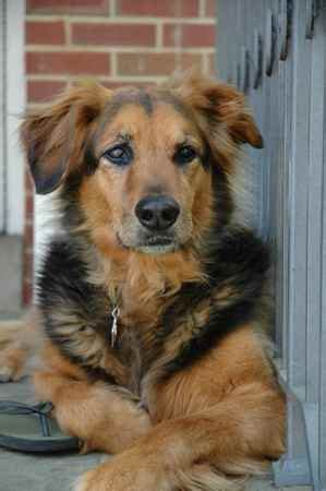 shepherd golden retriever mix 1000 images about golden shepherd on german shepherds shepherd dogs