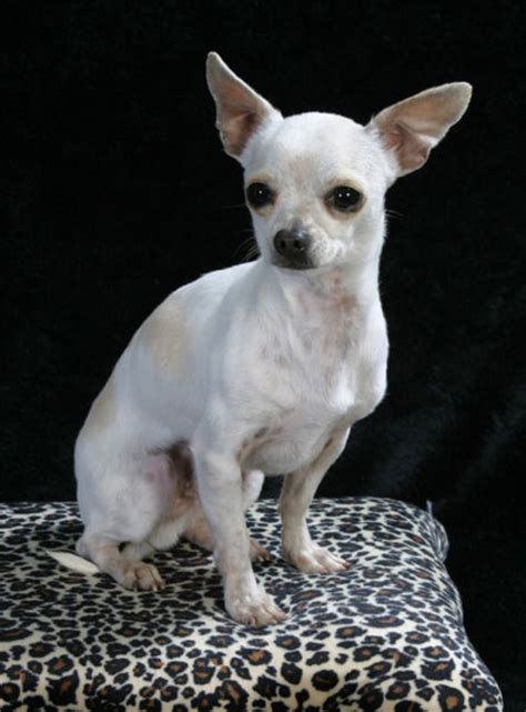 white chihuahua puppies dogs white chihuahua dogs