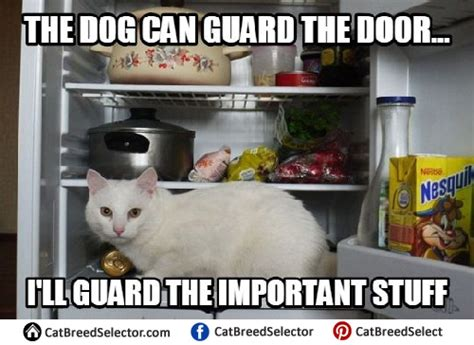 White Cat Meme - white cat memes cat breed selector