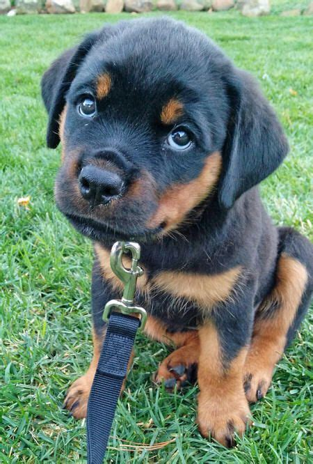 trained rottweiler for sale 25 best ideas about rottweiler pups for sale on rottweiler for sale