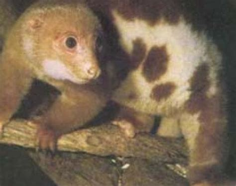 Picture 5 of 7 - Cuscus (Phalanger Maculatus) Pictures ...