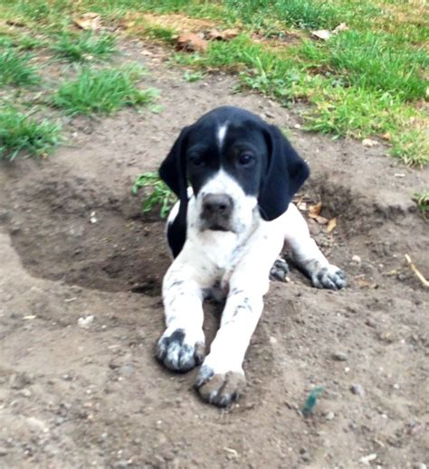 pointer puppy beautiful home bred kc registered pointer puppy pontefract west pets4homes