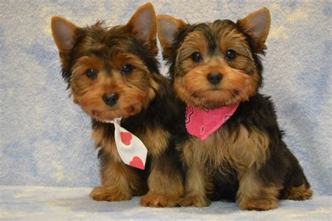 yorkie breeders yorkie puppies potty trained 6 tips to housetraining a terrier