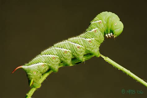 the citrus guy attack of the killer hornworm
