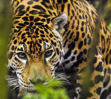 Jaguar Me Jaguar