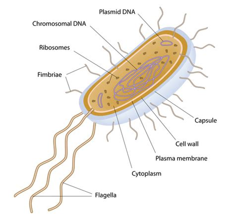 bacterial cell diagram labeled labeled bacteria cell