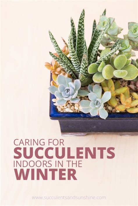 caring for succulents in winter succulents and sunshine
