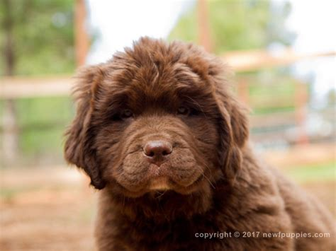 newfoundland puppies for sale in california wolfcreek newfoundlands newfoundland breeder