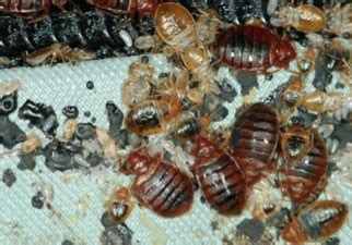 bed bug extermination process rxheat to kill bed bugs pest solutions 365