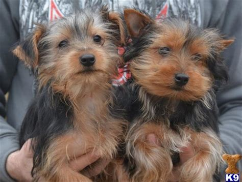 how much do yorkies eat how much does a morkie cost breeds picture