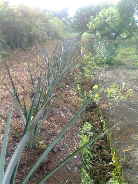 anasuka  kebun