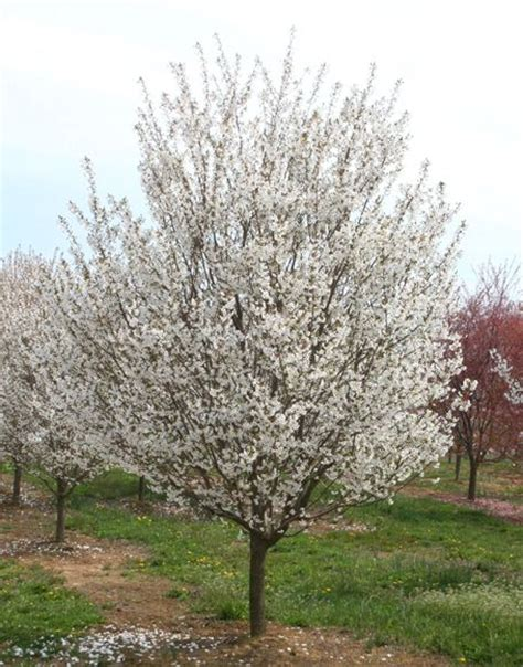 Snow Goose Cherry Tree | prunus snow goose trees pinterest
