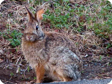 how to a to rabbit hunt rabbit tips and methods for controlling and cooking rabbit