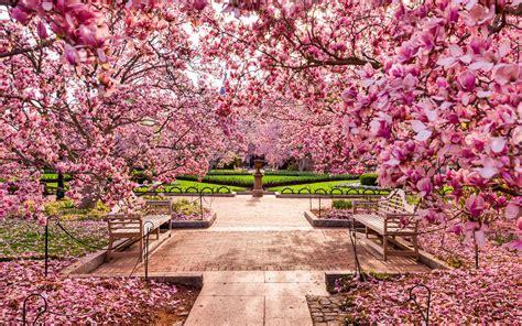cherry blossom festival dc when do cherry blossoms bloom in washington d c travel leisure