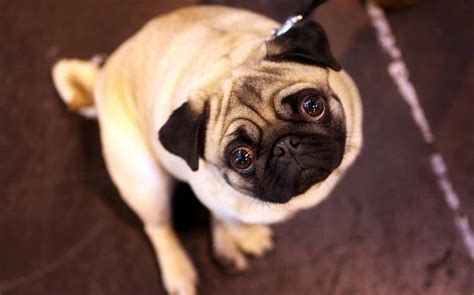 what is a of pugs called vets call for healthier standards for pugs and
