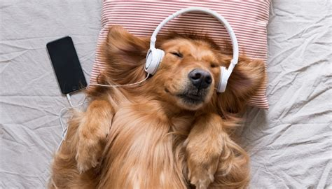 soothing sounds for dogs calming for dogs what is it and how can hammametnow