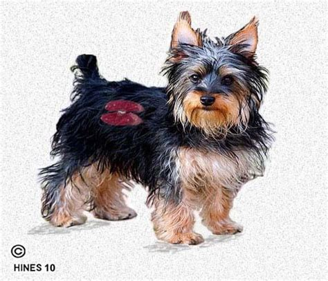 yorkie kidney failure symptoms 81 best images about frankie on
