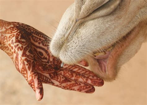file mehndi on hand with camel jpg wikipedia