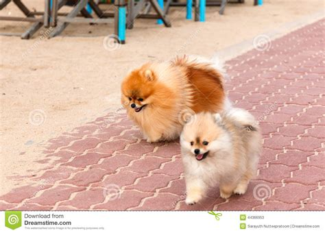 white and brown pomeranian gallery for gt brown and white pomeranian puppies