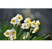 Narcissus Flowers Hd Wallpaper  Magic4Wallscom